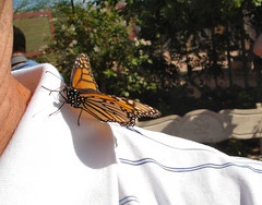 My Friend Flickr (oybay) Tags: arizona macro phoenix butterfly inflight flickr monarch upcloseandpersonal monarchbutterfly desertbotanicalgardens onmyshoulder