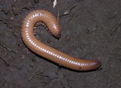 Large milliped from Sao Tome (Arthur Anker) Tags: africa macro nature island sao millipede invertebrate arthropod tome myriapoda diplopoda
