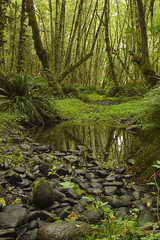 Quinault Rainforest . 35 (Steven Schnoor) Tags: trees usa fern color reflection tree green tourism colors rain forest landscape photo washington moss flora rainforest bravo rocks  olympicpeninsula pacificnorthwest environment steven lush ferns washingtonstate olympicnationalpark pnw attraction quinault temperate westernwashington schnoor saywa experiencewa imagesmyth stevenschnoor stevenschnoor