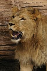 Lion (ucumari photography) Tags: sc animal cat mammal zoo nikon october leo d70s lion 2006 columbia nikond70s bigcat riverbanks riverbankszoo columbiasc october2006 specanimal ucumari ucumariphotos ucumariphotography