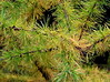 larch branches (Muffet) Tags: autumn larch utatathursdaywalk28