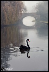 Black Swan ...Burton On trent (annabulka) Tags: annabulka art annamarijabulka anawesomeshot beautiful best beautifull colour capture contrast colorfullaward color colourful colourartaward colorphotoaward black colourfull dark darkstyler expresion england expression experiment flickr fantastic glamor greatbritain light love lonelyplanet landscape mywinners nature natural nice nationalgeografic outdoor photography photo studio999 shot shadow show studio999art swan blackswan river studio999travel travel tourist turist travels tourism trip texture tree woman world women wildlife wild uk amazing