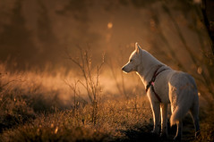 Autumn morning (rom_guerin) Tags: autumn light orange herbs wild provence husky nature dog nikon d300s f4 benro tripod
