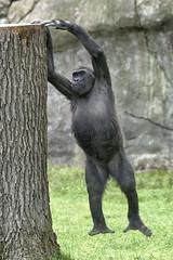 levitating gorilla (ucumari photography) Tags: ucumariphotography gorilla westernlowland gorillagorillagorilla animal mammal north carolina nc zoo april 2018 dsc6692 specanimal
