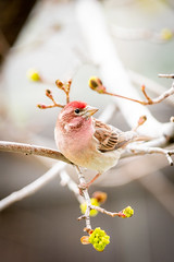 house finch pose