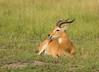 Uganda Kob (Kobus kob thomasi), male (piazzi1969) Tags: elements kobuskobthomasi ugandakob antelope mammals wildlife fauna nature africa afrika canon eos 7d markii ef100400mm queenelizabethnationalpark animals horns tongue