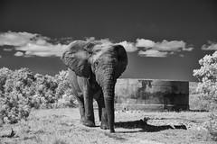 Close (zenseas) Tags: amakhalagamereserve southafrica elephant workingholiday infrared workingvacation holiday africa wild bullelephant africanelephant vacation easterncape norman loxodontaafricana bw blackandwhite monochrome ir digitalinfrared notusks