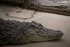 Cocodrilo (Javiera Peralta Toro-Moreno) Tags: cocodrilo cocodrile reptil animal dormir durmiendo sleep nikon