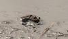 Tired Amphibian (Steve (Hooky) Waddingham) Tags: animal countryside nature wild wildlife photography spawn lake pond