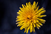 Sony a7 50mm 2.8 macro (Jasrmcf) Tags: ilce7 sel50m28 sony sonya7 fullframe macro 50mm28macro delicate detail depthoffield smooth blur bokeh bokehlicious bokehgraph yellow nature ngc colourartaward colourful greatphotographers flower flowers dreamy beautiful
