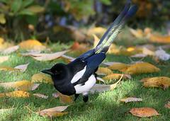 Magpie Magic (Ger Bosma) Tags: 2mg147985filtered ekster picapica magpie eurasianmagpie elster piebavarde urraca gazza pegarabuda сорока srokazwyczajna tail ground autumn leaves