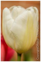 TULIP - Tulipa (R ERTUG) Tags: nikond610fx nikon60mmf28 macro tulip rertug flower ertug