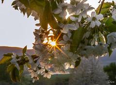 Kirschblüte (WiSch | Foto) Tags: spezies wischfoto 05jahreszeit orte fotoclub kirschbaum frühling licht abendlicht baum 10pflanze kirschblüte jahreszeit blühen pfalz blüte meckenheim gegenlicht april rheinlandpfalz deutschland de