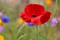 (jc.dazat) Tags: fleur flower coquelicot poppy rouge red nature flou blur couleurs colours color photo photographe photographie photography canon jcdazat dazat