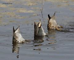 Duck butts (eklectikimages) Tags: duck duckbutt aransasnwr