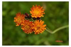 Capullos (mariadoloresacero) Tags: ilca68 sony sonyilca68 capullos orange anaranjadas flores silvestres