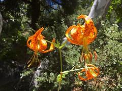 Humboldt's Lily (Lilium humboldtii) (Camden S. Bruner) Tags: humboldtslily liliumhumboldtii sandiegocounty ca california blm bureauoflandmanagement publiclands flower bloom lily buckcanyon june