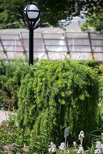 Larix decidua 'Repens' (Pinaceae)