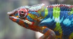 Colorful Chameleon (San Diego Shooter) Tags: macro sandiego reptilesupershow lizard chameleon uncool cool cool2 uncool2 uncool3 uncool4 uncool5 uncool6 uncool7