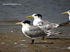 DSC00729Greater Crested Tern (Thalasseus bergii) (vlupadya) Tags: greatnature animal aves fauna indianbirds greater crested tern thalasseus kundapura karnataka