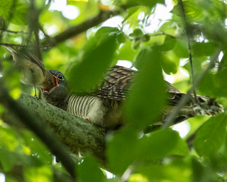 Juvenile Cuckoo  and Warbler foster mother