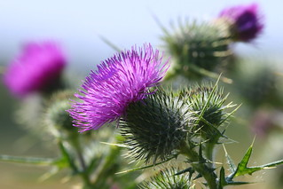 Bull Thistle at Titchfield Canal, Hampshire, UK