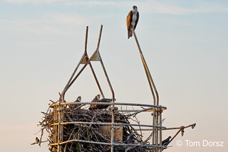 Osprey with young still in the nest.