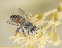 Commonly Simple. (Omygodtom) Tags: elitebugs existinglight gold eos tamron stars golden insect honeybee macro dof bokeh yellow common worker