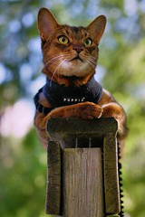 Lizzie on post (DizzieMizzieLizzie) Tags: abyssinian aby lizzie dizziemizzielizzie portrait cat feline gato gatto katt katze kot meow pisica sony neko gatos chat a6500 fe ilce6500 ilce 2018 bokeh pet animal dof sigma 35mm f14 dg hsm   art 018 grass tree wood post