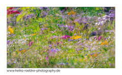 Wildblumen / wild flowers (H. Roebke) Tags: 2018 de canon5dmkiv color nature flower abstract blume natur summer flora hannover multiexposure canon100400mmf4556lisiiusm mehrfachbelichtung lightroom farbe