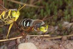 Rolf_Nagel-Fl-1687-Bembix_rostrata (Insektenflug) Tags: diggerwasp kreiselwespe gravehvepse digger wasp kreisel wespe grabwespe sandwespe rostrata bembixrostrata läppstekel bembicidae hymenoptera hautflügler sphecidae bembix schweden sverige sweden öland baltic ostsee island insel fliegend flying flight airborne wildlife action highspeed insects entomofauna entomologie fauna fliegen flug insekt insekten balticsea insect imflug inflight insektenflug minoltaerokkor75mm erokkor minolta rokkor 75mm envole en vole