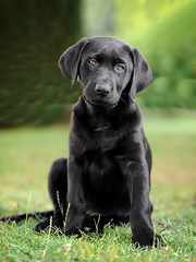 2 years ago today (uwe.kast) Tags: labrador labradorretriever labradorredriver puppy dog hund haustier nikon nikond3 black bokeh bichou