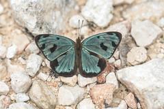 Dynamine postverta (fabriciodo2) Tags: dynaminepostverta papillon butterfly nature macro sigma150 chichenitza mexique