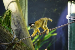 stumpy tail (Happily Home from Holidays :)) Tags: weeklythemes imperfection squirrelmonkey tarongazoo sydney australia