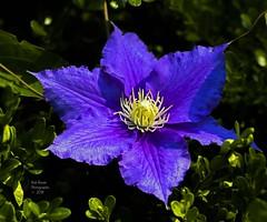 Clematis (rumerbob) Tags: clematis flower floral flowergarden fauna macro macroflower macrophotography nature naturewatcher naturephotography longwoodgardens canon7dmarkii canon100mmmacrolens