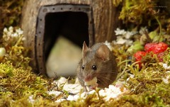 George the mouse in a log pile house (2) (Simon Dell Photography) Tags: house mouse log pile door coconut mossy moss logs wood stack garden wild wildlife cute funny detail close up awesome viral ears eyes george mini mildred sheffield s12 hackenthorpe decorated summer images mice two mouses animals rodents