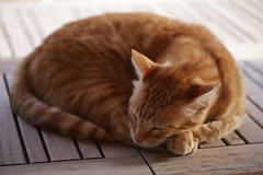 IMG_6111 Rubio, Mallorca (Fernando Sa Rapita) Tags: rubio baleares mallorca sarapita canon canoneos eos6d cat gato gatito pet mascota
