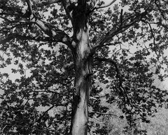 Tree in light and shadow (Hyons Wood) (Jonathan Carr) Tags: tree ancient woodland black white branch light leaves rural northeast landscape 4x5 5x4 toyo largeformat