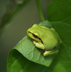 Een vers boomkikkertje op een vers blaadje (nikjanssen) Tags: boomkikker treefrog macro leaf nature green blad dof explore