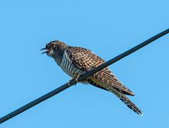 Cuckoo Juv Isle of Mull 28-06-2018-5558 (seandarcy2) Tags: birds wildlife mull