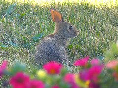 Bunny (**Monkey**) Tags: bunny flowers little cute soft blur summer ontario