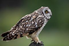 Short-eared owl (Frekkie) Tags: canonef500mmf4lisiiusm canoneos5dmarkiv canonextenderef14xiii jorduggla asioflammeus