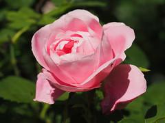 Róża Rose Rosas (arjuna_zbycho) Tags: róża rose rosas roses róże rosu rosae flower kwiat blume makrofoto macrophoto rosarium rosengarten الورد austria badenbeiwien doblhoffpark biosphaerenparkwienerwald lovers gülsevenler gül trandafir trandafiri زهرة