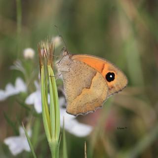 Mariposa Loba. Nombre cientifico:  Maniola jurtina es  lepidóptero pertenecientes a la familia Nymphalidae.