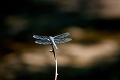 rear view (avflinsch) Tags: ifttt 500px wing macro dragonfly insect damselfly bug water summer dark blue black fly hunter dragon
