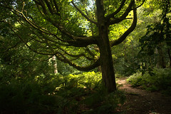 Clandeboye Wood (John D McDonald) Tags: northernireland ni ulster geotagged countydown codown northdown newtownards ards forest woods clandeboye clandeboyewood trees green brown nikon d3300 nikond3300 tree distinctivetree silhouette landscape mottled mottledlight mottling dappled dappledlight dappling fern ferns russet