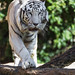 White tiger walking over the branch