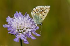 Chalkhill Blue Butterfly(Polyommatus Coridon) (kevinclarke1969) Tags: butterfly chalkhill blue