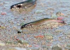 Capelin (Karen_Chappell) Tags: fish nature macro capelin caplin nfld newfoundland canada atlanticcanada avalonpeninsula ocean sea atlantic beach middlecovebeach middlecove eastcoast animal water