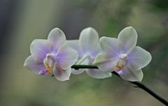 Triplets (ACEZandEIGHTZ) Tags: orchid phalaenopsis bokeh nikon d3200 3 three coth coth5 sunrays5 thebestofmimamorsgroups